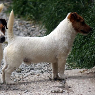 Jack_Russell_Terrier|Fattrici ALLEVAMENTO DI CASTELL'ANSELMO